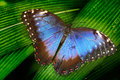 Blue butterfly. Blue Morpho, Morpho peleides, big butterfly sitting on green leaves. Beautiful insect in the nature habitat, wildl Royalty Free Stock Photo