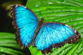 Blue butterfly on the leaf Royalty Free Stock Photo