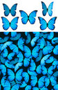 Blue butterfly Morphinae pattern Stock Photos