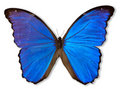 Blue Butterfly (with Path) Stock Image