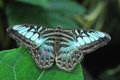 Blue butterfly a perched on a large leaf with it s wings outstretched Royalty Free Stock Images