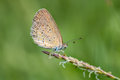 Blue butterfly, Polyommatus icarus on a wild flower Royalty Free Stock Photo