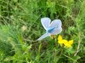 Blue butterfly sitting on flower in spring time on sunny day Royalty Free Stock Photo