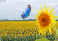 Blue butterfly and sunflower Royalty Free Stock Photo