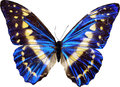 Blue butterfly Royalty Free Stock Photo