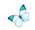 Blue Butterfly on white background Royalty Free Stock Photo
