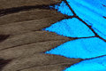Blue butterfly wing Royalty Free Stock Photo