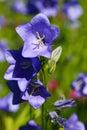 Blue Campanula Royalty Free Stock Photo