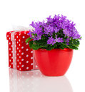 Blue campanula flowers with red gift box polka dots on white background Stock Photography