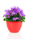 Blue campanula flowers in red pot on white background Stock Photo
