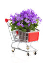 Blue campanula flowers in a shopping cart on white background Royalty Free Stock Photography