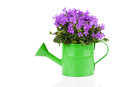Blue campanula flowers in watering can on white background Stock Photos