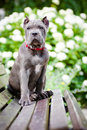 Blue cane corso puppy on a bench rare color outdoors Stock Photo