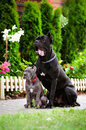 Blue cane corso puppy with a black dog rare color and Royalty Free Stock Image