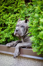 Blue cane corso puppy rare color outdoors Stock Image