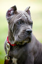 Blue cane corso puppy rare color outdoors Royalty Free Stock Image