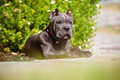 Blue cane corso puppy rare color outdoors Royalty Free Stock Photography