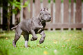 Blue cane corso puppy running rare color outdoors Stock Photography