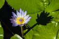 Blue cape water lily with shadow Stock Photos