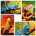 Blue chameleon iguana bearded agama a set of four images of different reptiles inside a terrarium Royalty Free Stock Image