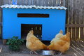 Blue chicken coop three chickens eating out bowl Royalty Free Stock Photography