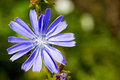 Blue chicory flower closeup beautiful succory by summer Stock Photos