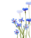 Blue chicory flowers on white Royalty Free Stock Photo