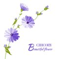 Blue chicory flowers. Royalty Free Stock Photo