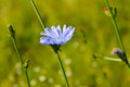 Blue chicory flowers on meadow Royalty Free Stock Photo