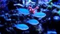 Blue Chromis swimming in coral reef aquarium Royalty Free Stock Photo