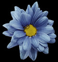 Blue chrysanthemum flower isolated on black background with clipping path. Closeup. no shadows. For design. Royalty Free Stock Photo
