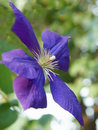 Blue Clematis Royalty Free Stock Photo