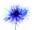 Blue Colored Cornflowers Stock Photos