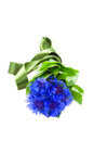 Blue corn flowers with green leaves isolated on white background Royalty Free Stock Photography
