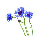 Blue corn flowers isolated on white background Royalty Free Stock Photography
