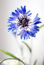 Blue cornflower Royalty Free Stock Photos