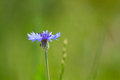 Blue cornflower on a background green grass Royalty Free Stock Image