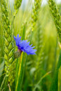 Blue cornflower in the field among the ears of cereal Royalty Free Stock Photo