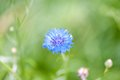 The blue cornflower and a green grass Royalty Free Stock Photo