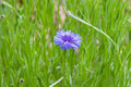 Blue cornflower in green meadow selective focus Stock Images