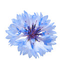 Blue cornflower isolated on the white background. Stock Photo