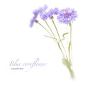 Blue cornflower. Soft focus. Made with lens-baby Royalty Free Stock Photo