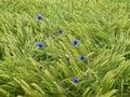 Blue cornflowers in barley field Royalty Free Stock Photo