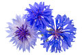 Blue cornflowers centaurea is a genus of between and species of herbaceous thistle like flowering plants in the family asteraceae Stock Image