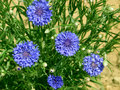 Blue cornflowers at the green grass background Royalty Free Stock Photo