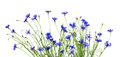 Blue cornflowers on white background Royalty Free Stock Photo