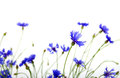 Blue cornflowers on white background Stock Images