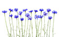 Blue cornflowers on white background Royalty Free Stock Photos