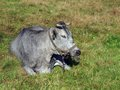 Blue cow lying rare specie on meadow Stock Photo