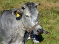 Blue cow lying rare specie on meadow Royalty Free Stock Photos